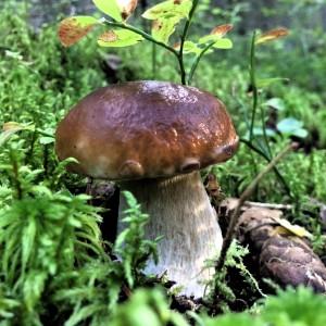 Äärimmäisyyksien kesän jälkeen elokuussa metsiin nousi ehkäpä jopa vuosisadan paras tattisato.