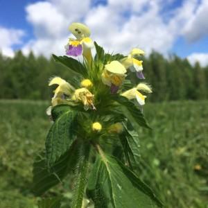 Typpipitoisilla paikoilla viihtyvä yksivuotinen kirjopillike (Galeopsis speciosa) kelpaisi kukkapenkkiinkin.