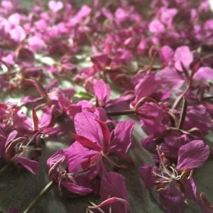 Maitohorman kukkia