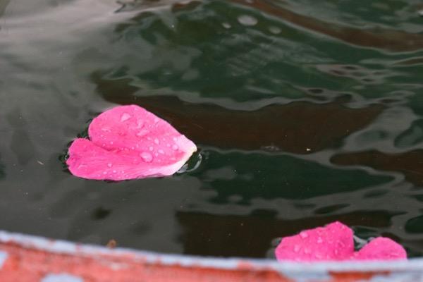 Ruusun terälehtiä. Kuva: Katri Saarela (@kutriart)