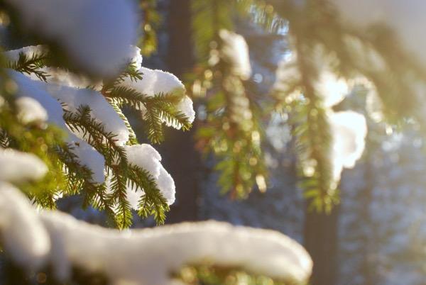 Kuusen lumisia oksia